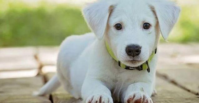 Köpeklerde kanlı ishal neden olur?