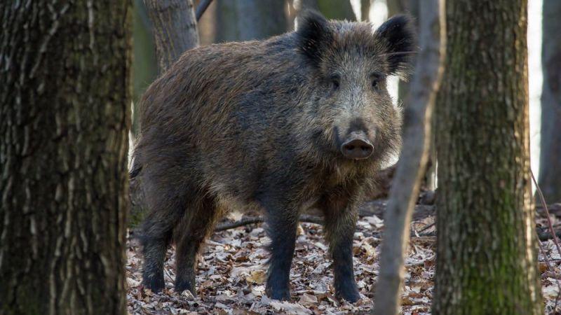 Fındık toplayan kadına domuz saldırdı